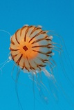 Japanese Sea Nettle Photographic Print by Hal Beral
