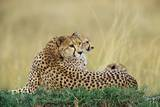 Cheetahs in Kenya Photographic Print by W. Perry Conway