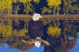 Bald Eagle Perched on Branch Photographic Print by W. Perry Conway
