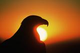 Golden Eagle at Sunrise Fotografie-Druck von W. Perry Conway