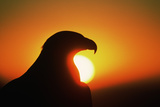 Golden Eagle at Sunrise Photographic Print by W. Perry Conway