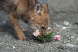 Coyote Pup Examining Evening Primrose Photographic Print by W. Perry Conway