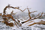 Snow Covered Bristlecone Pine on Mount Goliath Lámina fotográfica por W. Perry Conway