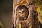 Saw-Whet Owl in Aspen Tree Fotoprint van W. Perry Conway