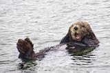 California Sea Otter Fotografisk tryk af Hal Beral