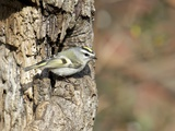 Golden-Crowned Kinglet Photographic Print by Gary Carter