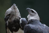 Male and Female Harpy Eagles Fotografiskt tryck av W. Perry Conway
