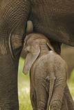 Elephant Calf Suckling Photographic Print by Martin Harvey