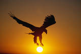 Bald Eagle Flying at Sunrise Fotoprint av W. Perry Conway