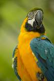 Blue and Gold Macaw Photographic Print by Stuart Westmorland