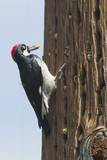 Acorn Woodpecker with Acorn in its Bill Photographic Print by Hal Beral