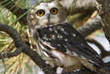 Saw-Whet Owl Photographic Print by W. Perry Conway