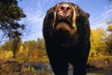 Black Bear Nosing Around Reproduction photographique par W. Perry Conway
