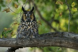 Long-Eared Owl Perched on Tree Branch Photographic Print by W. Perry Conway