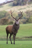 Red Deer Stag (Cervus Elaphus), Arran, Scotland, United Kingdom, Europe Photographic Print by Ann and Steve Toon