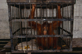 Juvenile Orangutan in Cage Photographic Print by W. Perry Conway
