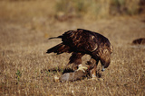 Golden Eagle Holding a Cottontail Rabbit Photographic Print by W. Perry Conway