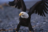 Bald Eagle Spreading Wings Photographic Print by W. Perry Conway