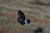 Harris' Hawk in Flight Photographic Print by W. Perry Conway