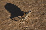 Namaqua Chameleon (Chamaeleo Namaquensis), Namib Desert, Namibia, Africa Photographic Print by Ann and Steve Toon