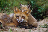 Mother Red Fox and Pups Photographic Print by W. Perry Conway