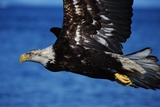 Bald Eagle Flying Photographic Print by W. Perry Conway
