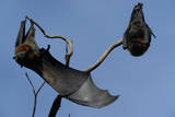Grey Headed Flying Foxes on Branch Photographic Print by W. Perry Conway