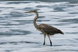 Great Blue Heron (Ardea Herodias) Photographic Print by Sergio Pitamitz