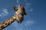Giraffe Photographic Print by Rick Doyle