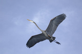 Great Blue Heron in Flight Photographic Print by Arthur Morris