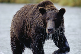Brown Bear in Salmon Stream Photographic Print by Joe McDonald