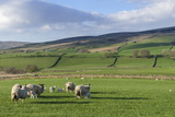 Sheep with Lambs in Fields Below the High Pennines, Eden Valley, Cumbria, England Photographic Print by James Emmerson