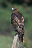 Red-Tailed Hawk Perches on Post Reproduction photographique par W. Perry Conway