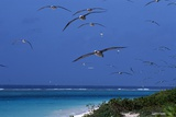 Laysan Albatrosses Flying Photographic Print by W. Perry Conway
