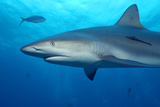 Caribbean Reef Shark Photographic Print by Stephen Frink