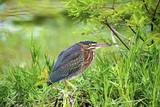 Green Heron Photographic Print by Gary Carter