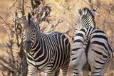 Zebras Photographic Print by Sergio Pitamitz