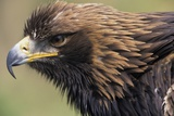 Golden Eagle Head in Profile Photographic Print by Klaus Honal