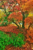 Lace Leaf Japanese Maple and Red Maple Trees in Garden in Portland, Oregon Photographic Print by Steve Terrill