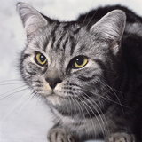 Grey Tabby Cat Photographic Print by Robert Dowling
