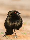 Bronzed Cowbird Photographic Print by Gary Carter