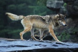 Gray Wolf in the Kettle River Photographic Print by W. Perry Conway