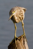 Indian Pond Heron Photographic Print by Hal Beral