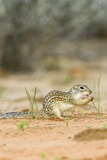 Mexican Ground Squirrel Photographic Print by Gary Carter