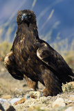 Golden Eagle Clutching Rabbit Kill Photographic Print by W. Perry Conway