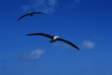 Laysan Albatross Flying Photographic Print by W. Perry Conway