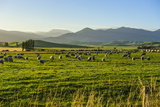 Sheep Grazing at Sunset, Queenstown, Otago, South Island, New Zealand, Pacific Photographic Print by Michael Runkel