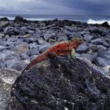 Marine Iguana on Coastal Rocks Fotodruck von Pablo Corral Vega