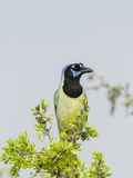 Green Jay Photographic Print by Gary Carter
