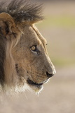 Lion (Panthera Leo), Kgalagadi Transfrontier Park, South Africa, Africa Photographic Print by Ann and Steve Toon